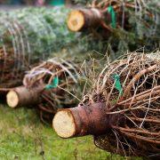Geschlagene und verpackte Weihnachtsbäume
