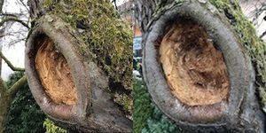 Apfelbaum mit großer Wunde am Stamm durch einen eingefaulten Schnitt
