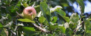 Zweig eines Apfelbaumes mit einem reifen Apfel
