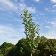 Ein junger Apfelbaum vor blauem Himmel mit weißen Wolken