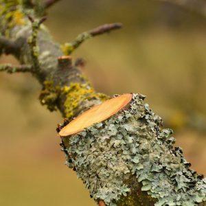 Apfelbaum-Ast mit einer geraden, fachgerechten Schnittkante. Es sind graue Flechten am Ast.