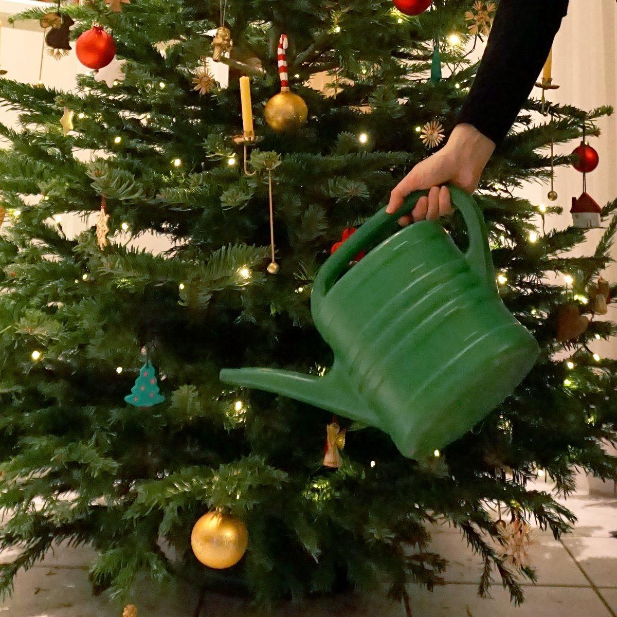 Bis Wann Bleibt Der Weihnachtsbaum Stehen.Tipps Damit Der Weihnachtsbaum Länger Frisch Bleibt Baumpflegeportal