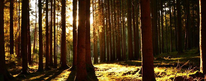 Sonnenstrahlen durchfluten einen Fichtenwald