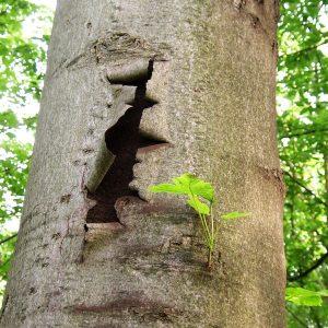 Ahornstamm mit aufplatzender Rinde. Dahinter ist ein Loch im Stamm. Der Baum ist von grünem Wald umgeben.