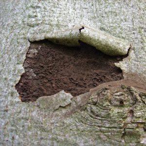 Dunkelbraune Pilzsporen zeigen sich unter aufgeplatzter Ahornrinde.