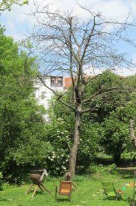 Kirschbaum ohne Blätter im Garten