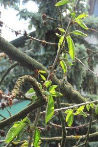 Zweige eines Kirschbaumes mit abgestorbenen und frischen Blättern