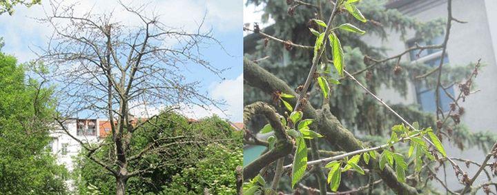 Großer, nahezu kahler Kirschbaum in einer Siedlung