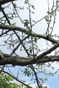 Zweige und Äste eines Kirschbaumes mit wenigen Blättern.