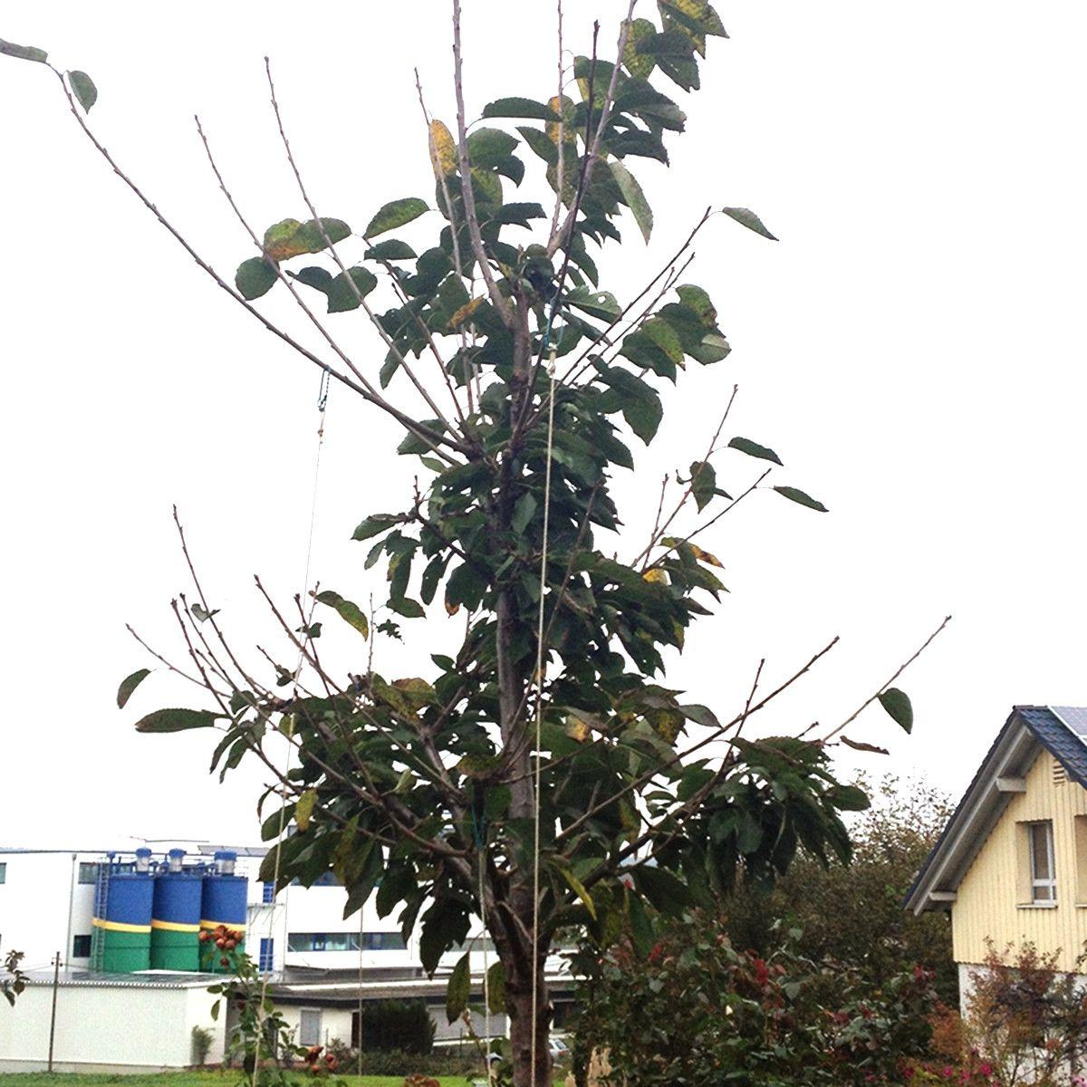 Hervorragend Fehler bei Baumschnitt an junger Kirsche - Baumpflegeportal DI42