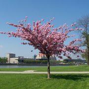 Blühende Zierkirsche auf einer Wiese am Fluss