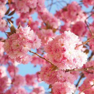 Um die Zweige eines Baumes ballen sich unzählige rosfarbene Blüten