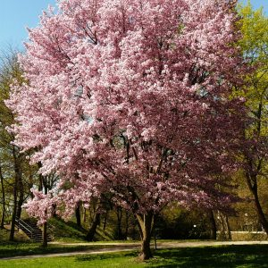 Riesiger blühender Kirschbaum in einem Park