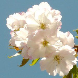 Weiße Blüten einer Zierkirsche