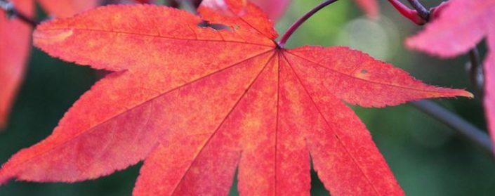 Leuchtend rotes sieben fingriges Ahornblatt