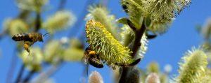 Bienen sammeln Pollen an Weiden