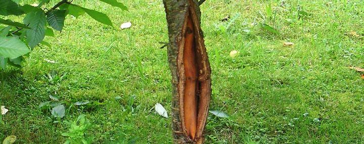 Großer Riss in der Baumrinde – Ein Todesurteil?