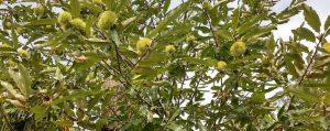 Blätter, Äste und Früchte der Edelkastanie