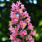 Blütenstand mit vielen kleinen rosaroten Blüten.