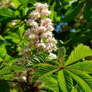 Großer Blütenstand an einem Ast mit vielen weißen Blüten