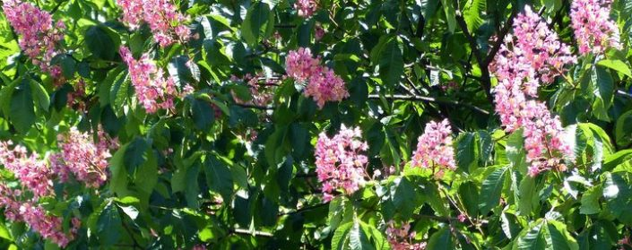 Rosarote Blütenstände einer Rotblühenden Rosskastanie