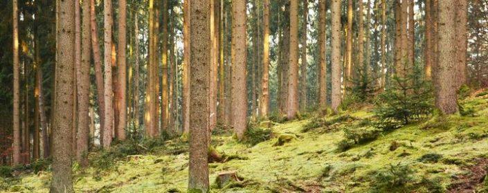 Herbstlicher Fichtenwald mit moosigem Untergund