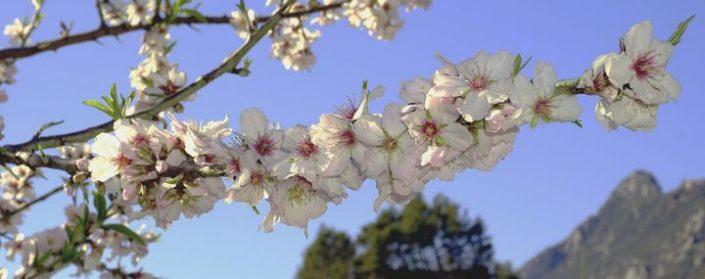 Ein Mandelzweig mit weiß-rosa Blüten