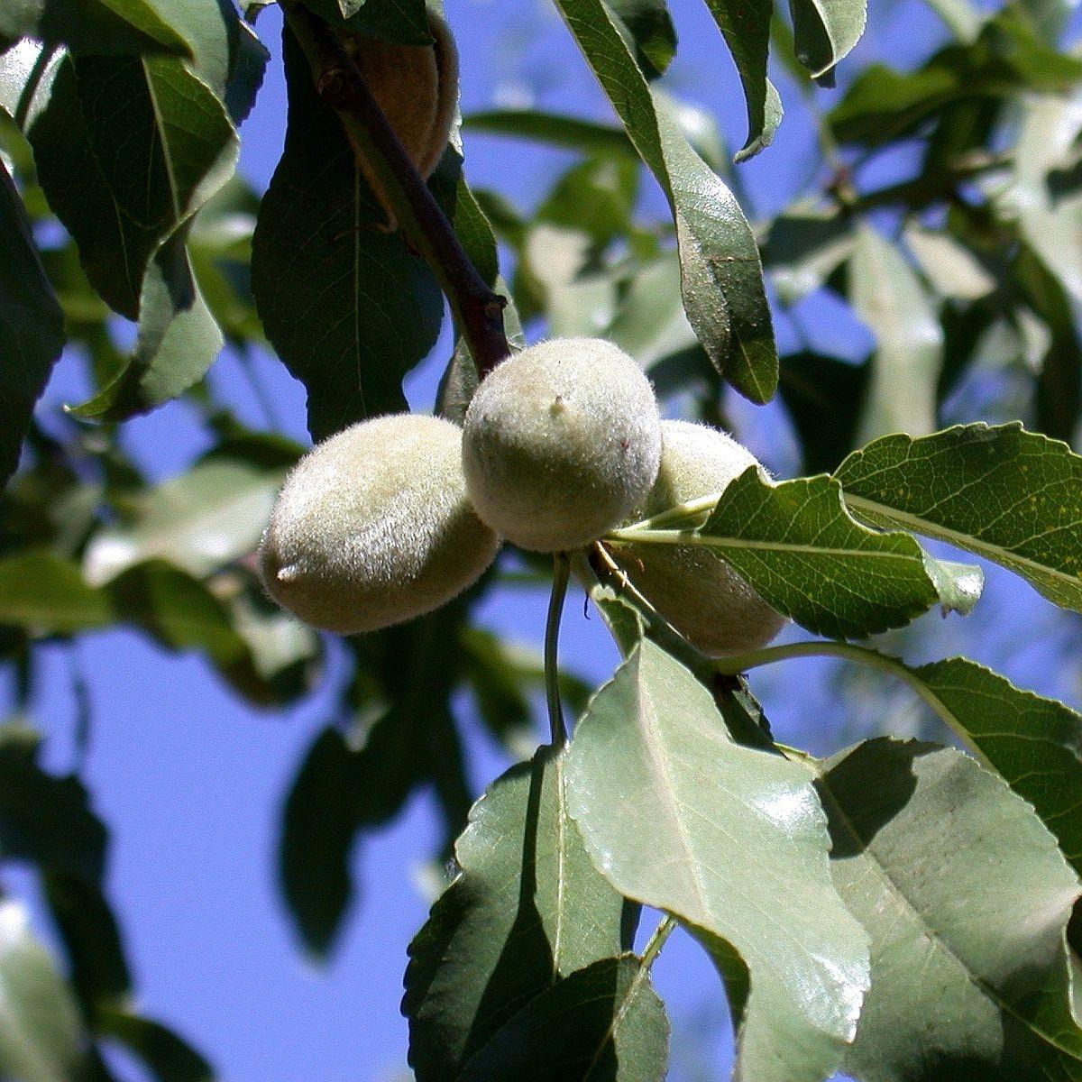 Mandelbaum im Garten pflanzen und pflegen