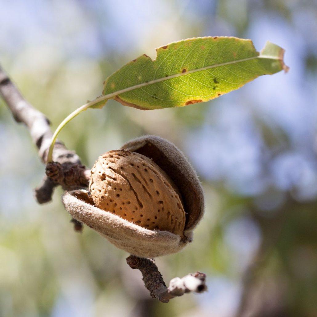 mandelbaum im garten pflanzen und pflegen baumpflegeportal. Black Bedroom Furniture Sets. Home Design Ideas