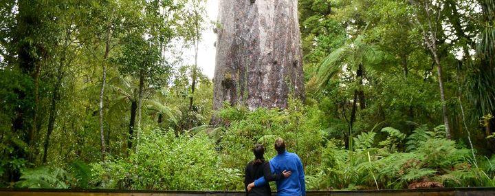 Kauri-dieback: Neuseelands Kauri-Bäume sind bedroht