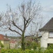 Walnussbaum ohne Blätter in einem Garten