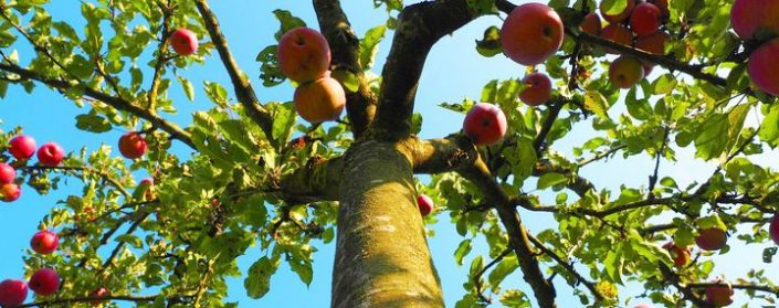 Stamm eines Apfelbaum mit Zweigen und vielen Äpfeln