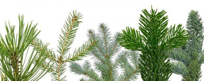 Mehrere verschiedene Nadelbaumzweige