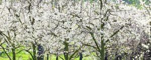 Blühende Kirschbäume auf einer Wiese