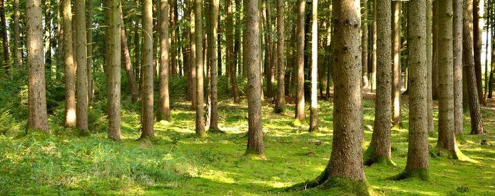 Waldbestand aus alten Fichten und wenigen kleinen Bäumen