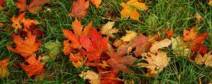 Bunte Blätter des Ahorn im Gras