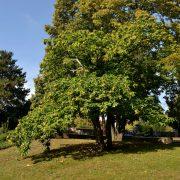Kleiner Kastanien-Baum voller Früchte