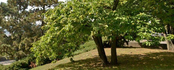 Ess-Kastanie in einem Park