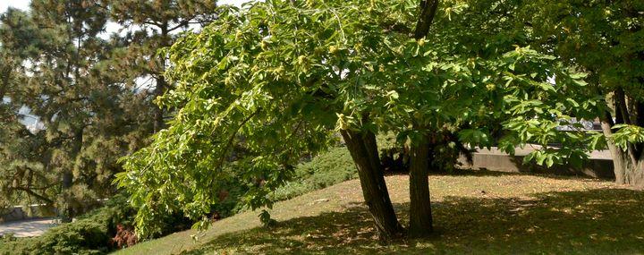 Esskastanie in einem Park