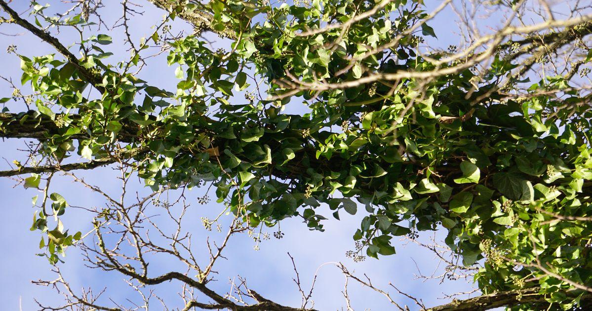Der Mythos Vom Efeu Der Die Bäume Kaputt Macht Baumpflegeportal