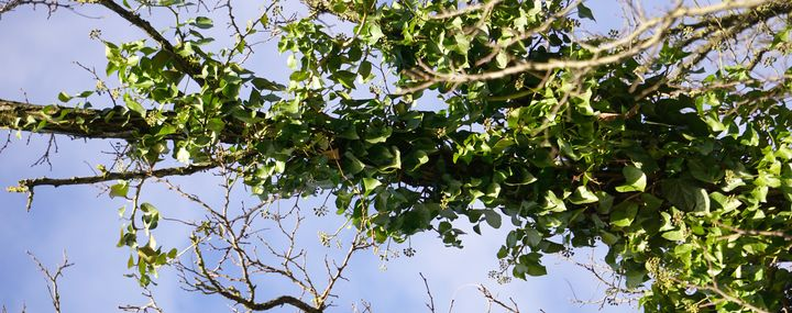 Efeupflanzen in der Krone eines Baumes