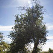 Auf einer saftigen Wiese steht ein alter Apfelbaum umgeben von anderen Bäumen