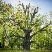 Alter Baum, bei dem einige starke Äste abgeschnitten wurden.