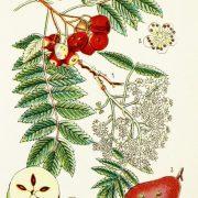 Grafische Darstellung der Früchte, Blätter und Blüten des Speierlings