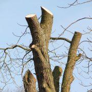 Baum bei dem die Starkäste abgeschnitten wurden
