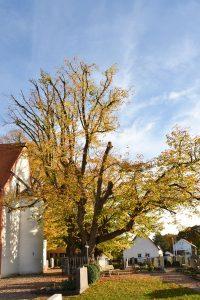 Alter Baum auf einem Friedhof