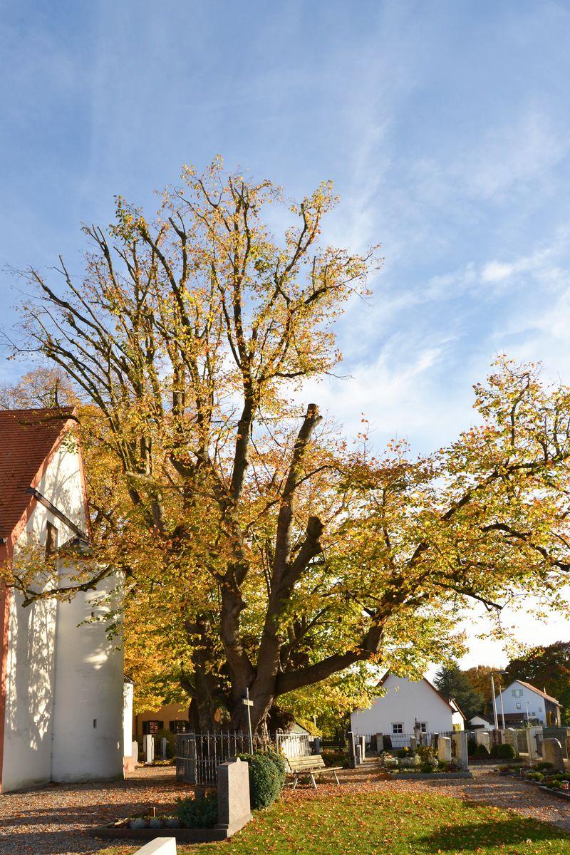 Starke Baumtypen: Edignalinde Puch