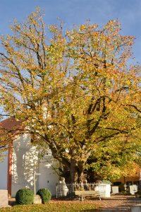 Alter stark verzweigter Baum vor einer Kirche