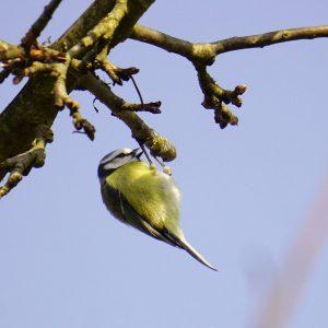 Blau-gelber Vogel hängt an einem Zweig