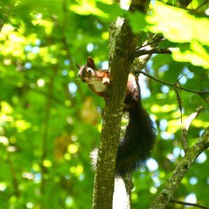 Eichhörnchen schaut interessiert von einem Ast herab